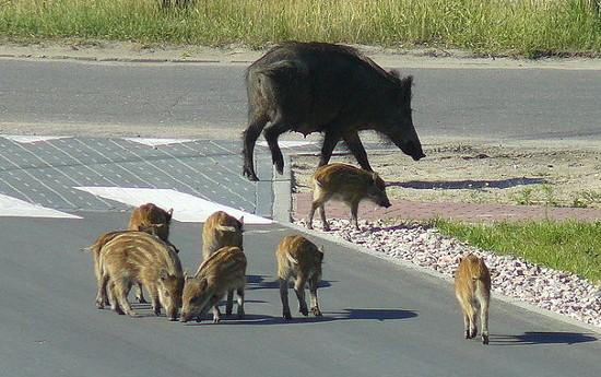 Wołomin: Wszędzie dziki!